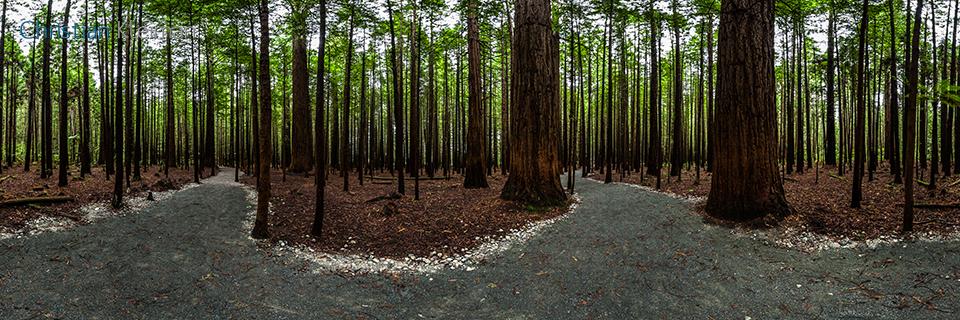 360 Panoramic Photo from the Redwood Memorial Grove Track at Whakarewarewa Forest - Rotorua - New Zealand. © Christian Kleiman Photographer, Author, Editor