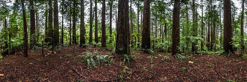 360 Panoramic Photo from Sequoias Sempervirens and Tree Ferns at Rotorua Redwoods Forest - New Zealand. © Christian Kleiman Photographer, Author, Editor