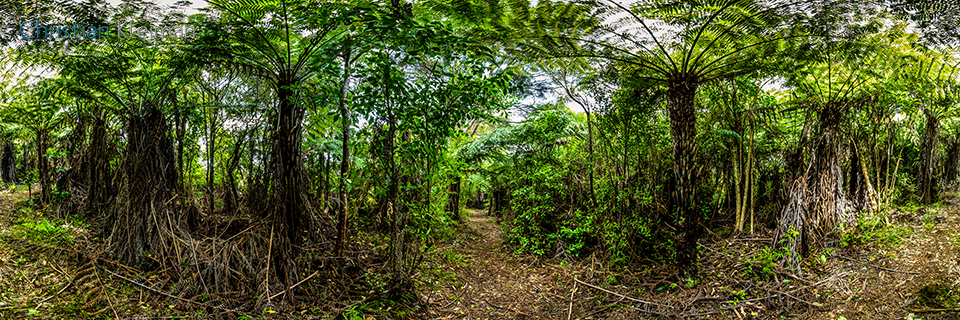 Black Tree Fern Mamaku - Waiheke Island - Auckland, New Zealand - 360 VR Pano Photo
